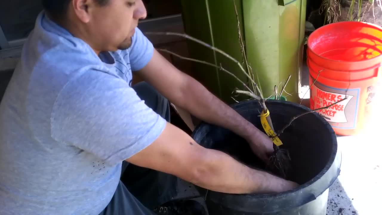 HOW TO PLANT BARE ROOT GRAPE PLANT IN A CONTAINER OR POT