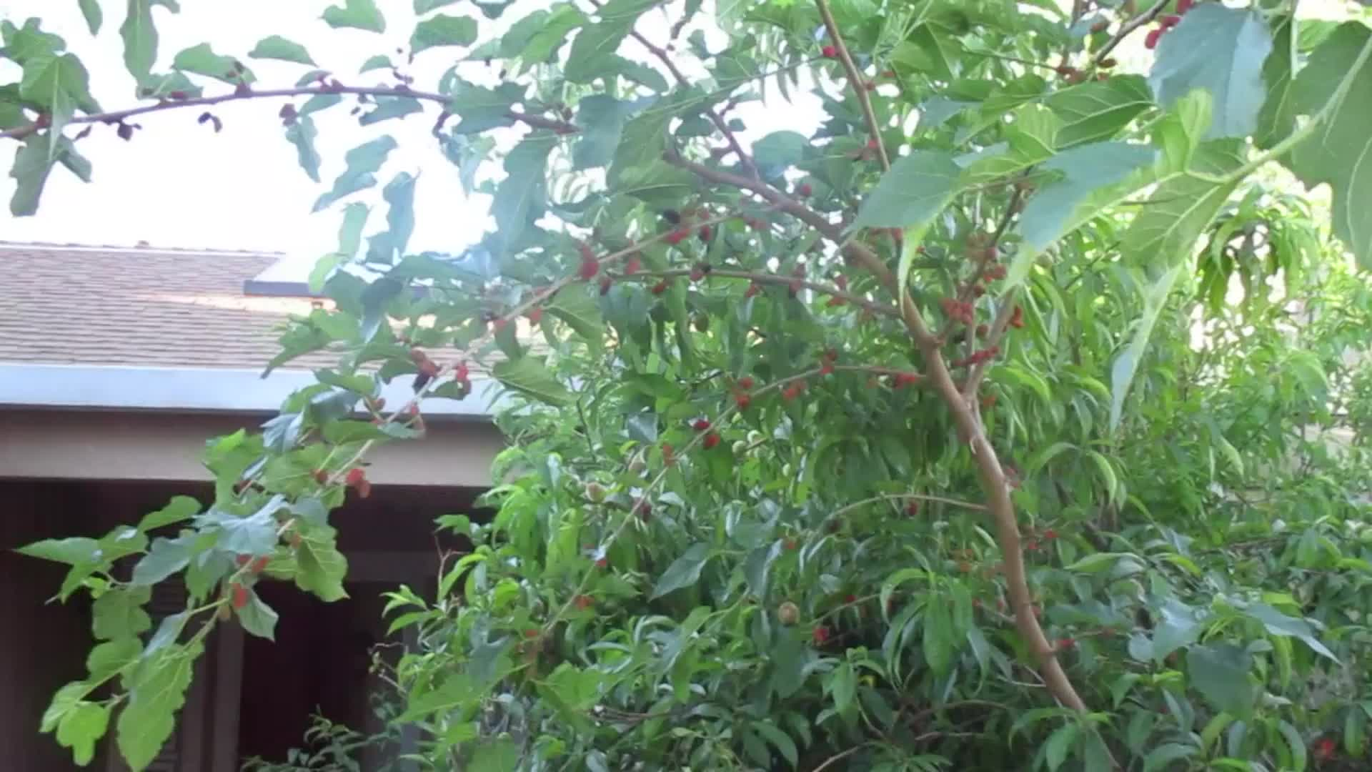 MULBERRY TREE I GREW FROM CUTTING