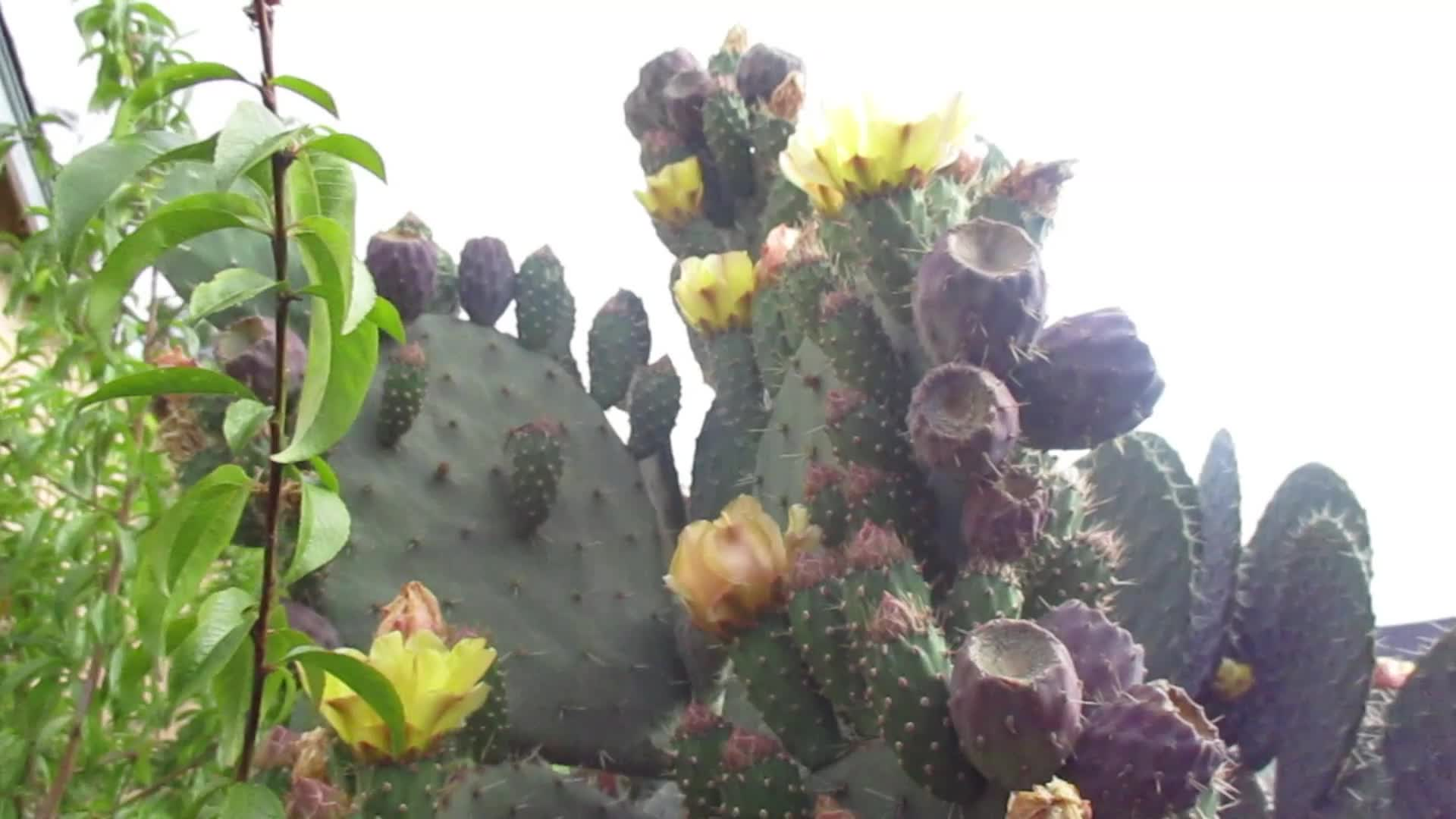 OPUNTIA MATUDAE XOCONOSTLE CACTUS PLANT WITH FLOWERS AND FRUIT